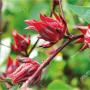 Los orígenes de la flor de jamaica